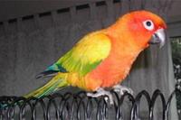 Conure Soleil (Arantiga Solstitialis)