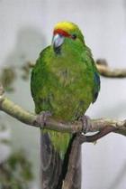 Perruche Kakariki (Cyanoramphus novaezelandiae)