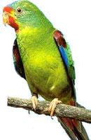 Perruche de Latham ou Swift (Lathamus discolor)