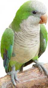 Conure veuve ou perruche moine ou souris  (Myiopsitta monachus)