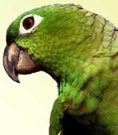 Amazone poudrée du Guatemala (Amazona farinose guatemalae)