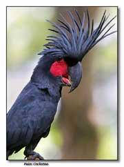 Cacatoès Noir (Probosciger atterimus)
