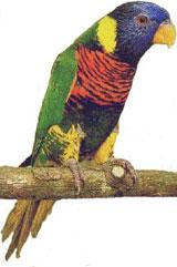 Loriquet Arc-en-ciel (Trichoglossus haematodus haematodus)