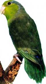 Moineau celeste ou Touï celeste (Forpus coelestis coelestis)