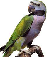 Perruche de Derby (Psittacula Derbiana)